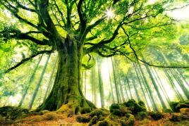 Les plus beaux arbres du monde hetre de ponthus